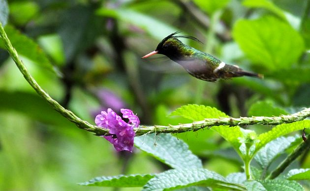 black-crested-coquette