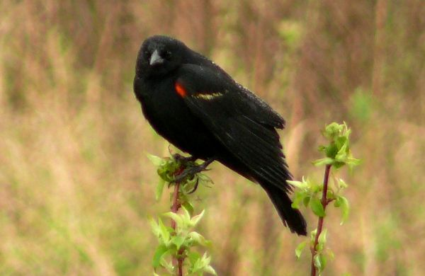 red-winged blackbird in the rain by Ben Carlisle