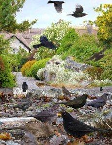 blackbird.600
