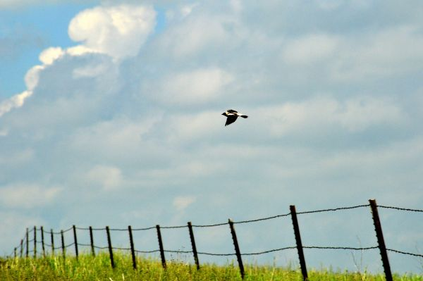 Male bobolink flies over a wire fence against a cloudy sky