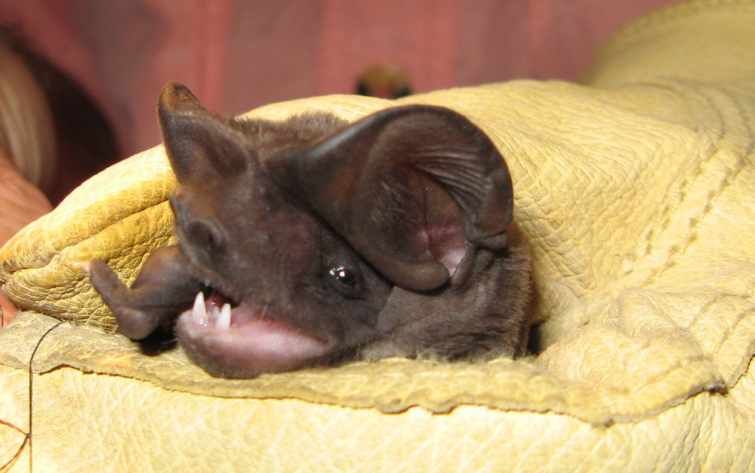 Bonneted Bat