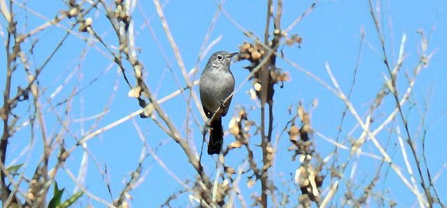 Bird Litigation - California Gnatcatcher
