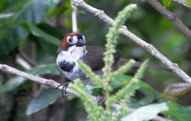 cabanis ground sparrow
