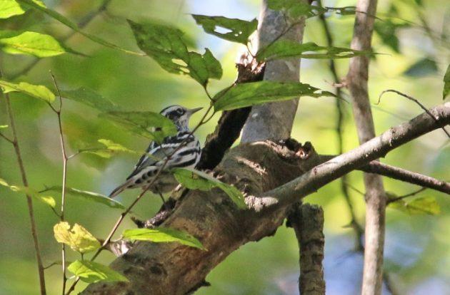 warbler, birding, nature, landscape