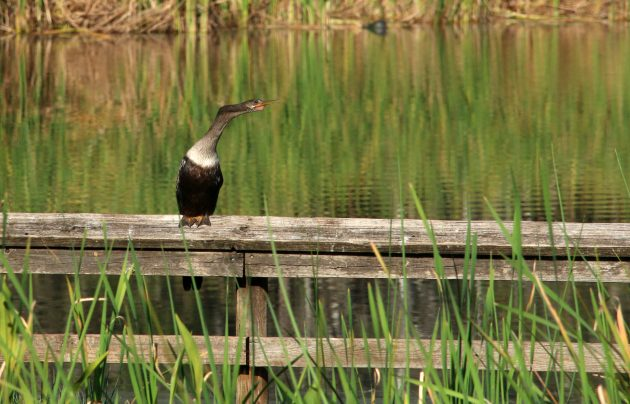 anhinga, nature, birding