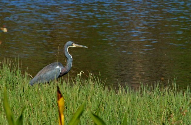 heron, nature, birding