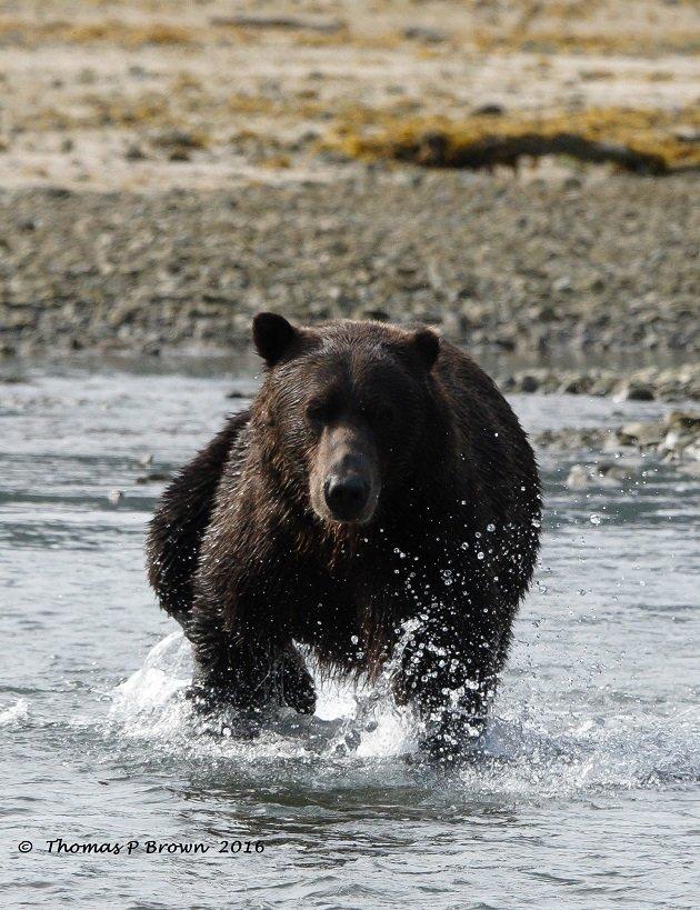 chasing-salmon-4