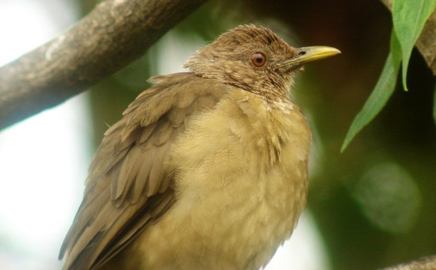 clay-colored-thrush-2