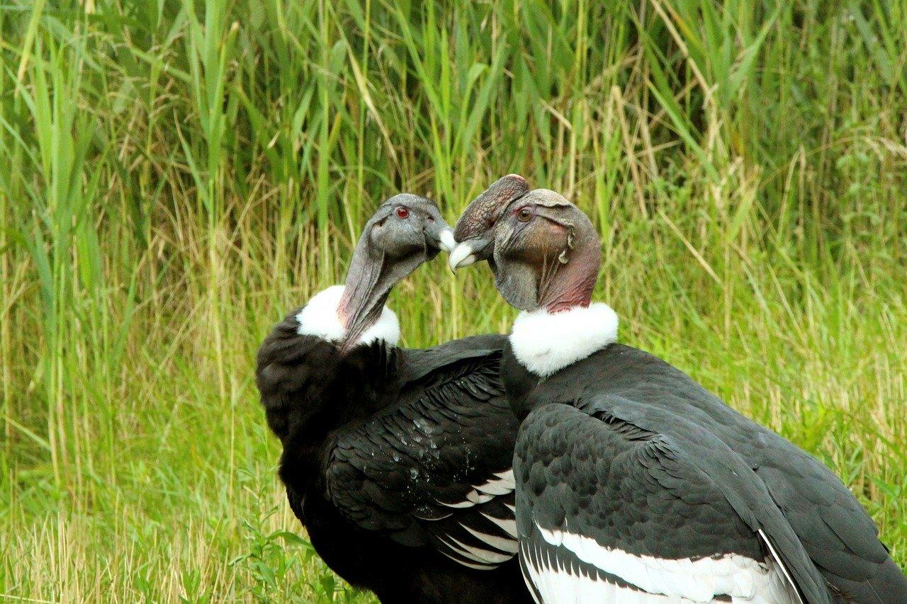condor, andean condor, nature, columbia