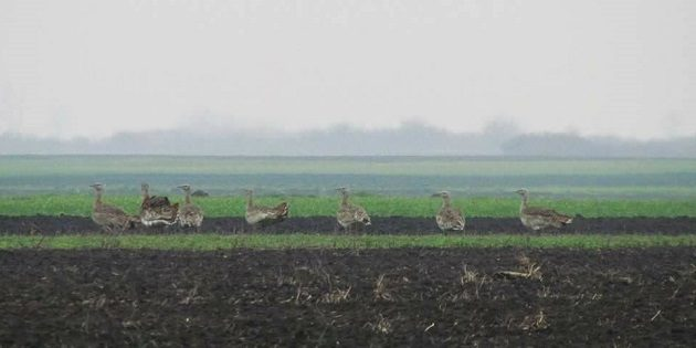 The Great Bustard Search is On (1)