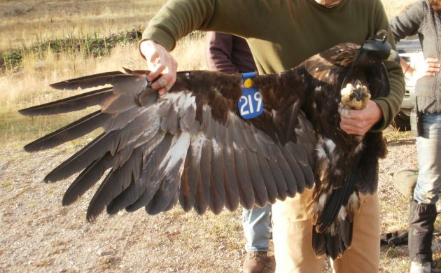 Golden Eagle showing wing tag