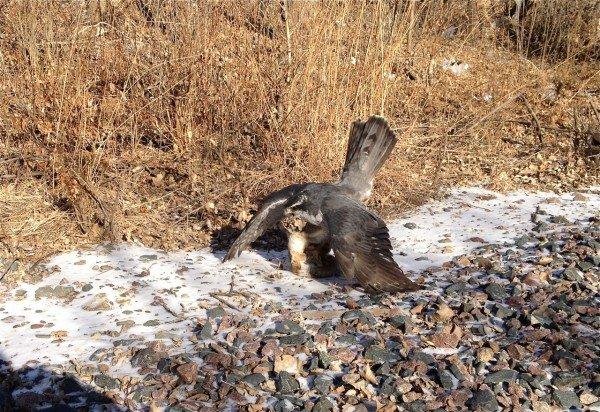 Wisconsin Falconer Legally Traps Snowy Owl - 10,000 Birds