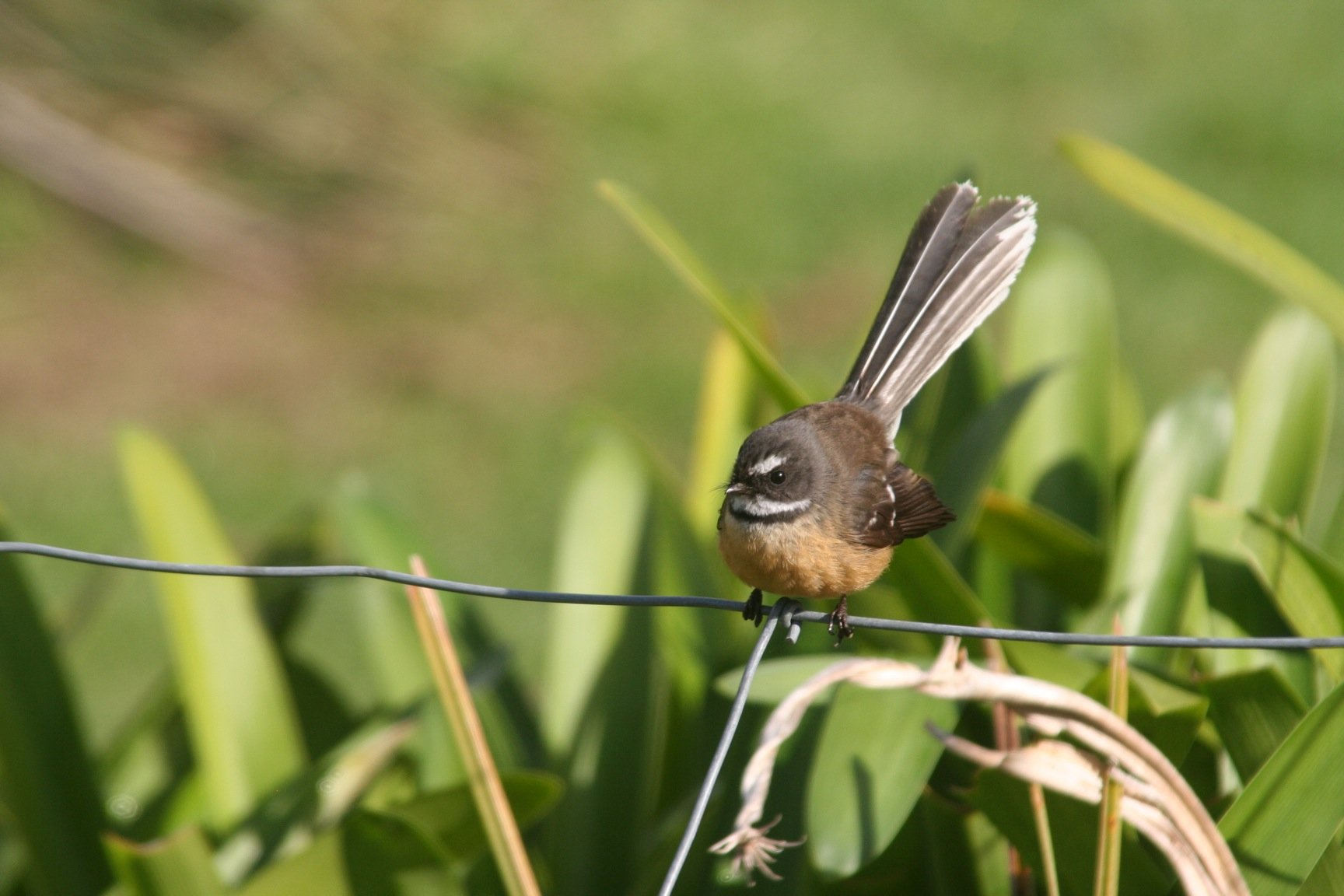 Restless New Zealand Fantails 10 000 Birds Ariano fantial is on facebook. 10000 birds