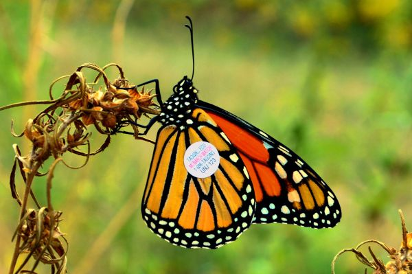 monarch butterfly with wing tag