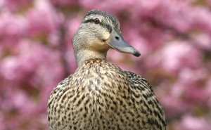 female mallard two