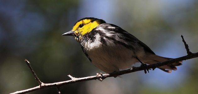 Bird Litigation:  Is the Golden-cheeked Warbler Still Endangered?