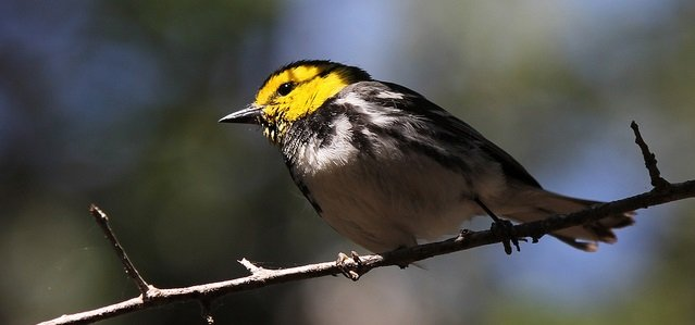 Golden-cheeked Warbler by Jason Crotty