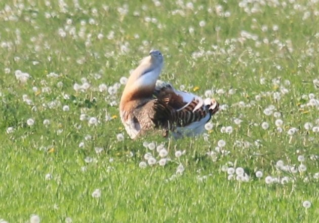 great-bustard-2