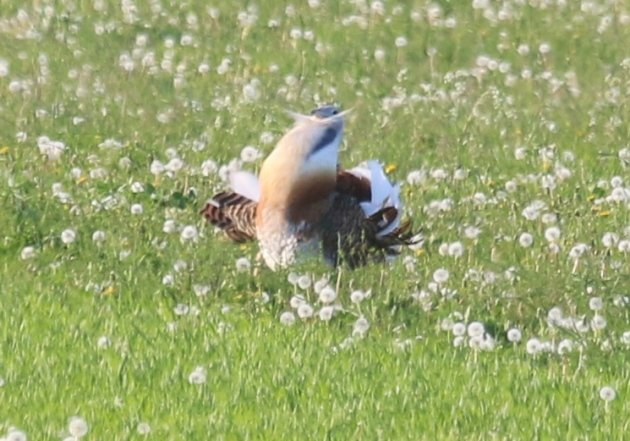 great-bustard-3