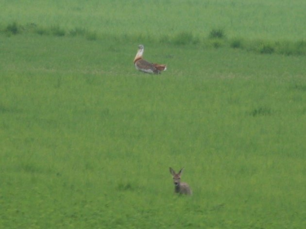 great bustard and roe deer