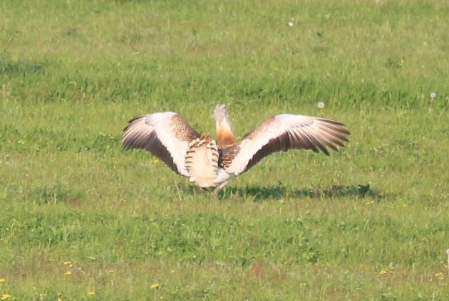 great bustard landing