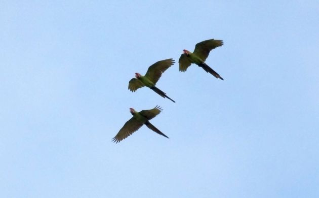 great-green-macaws