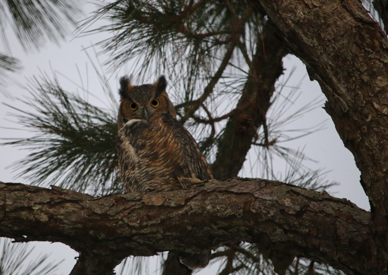 great horned owl, florida