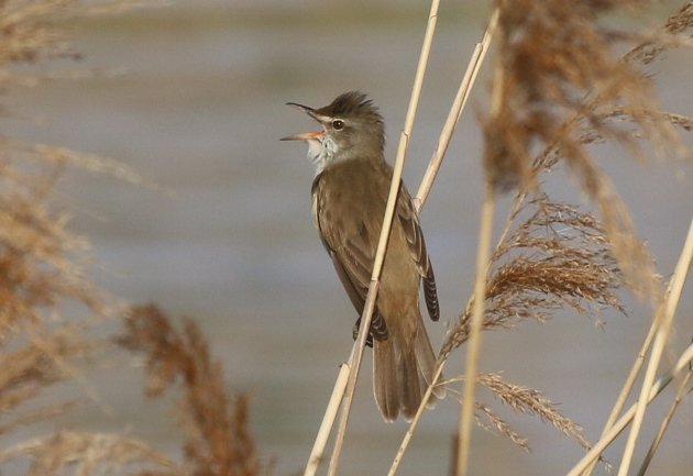 great-reed-warbler