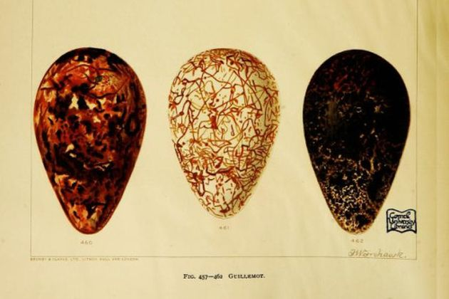 Three guillemot eggs, 1896, Frohawk