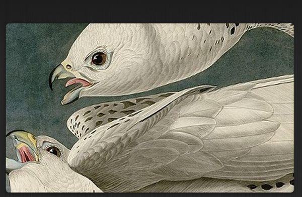 Detail of Audubon's painting of white gyrfalcons