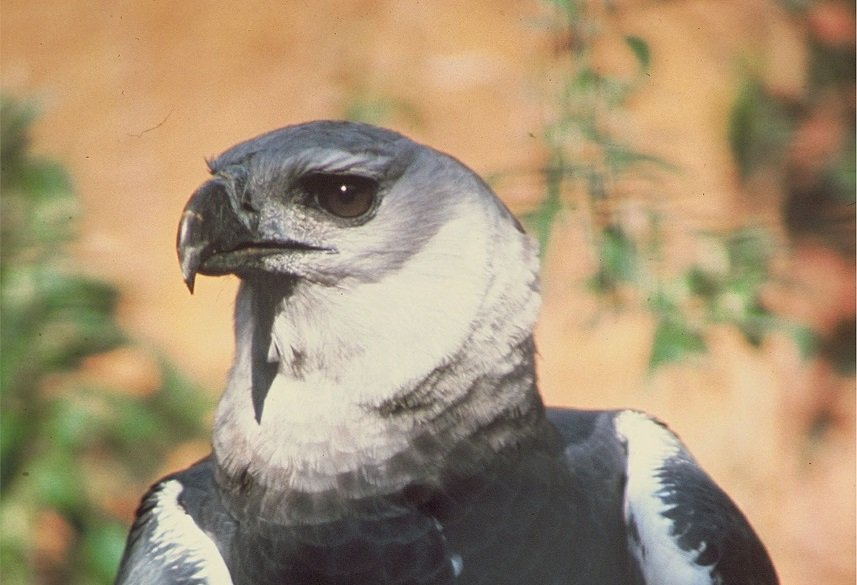 harpy eagle, nature, bird, panama