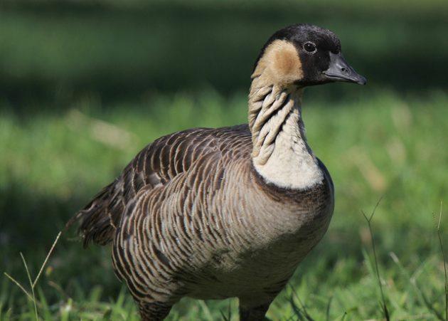 Hawaiian Goose Endangered Species Act 01