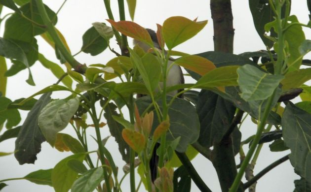 hidden-cuckoo