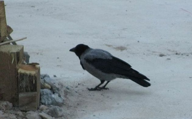 Hooded crow on a construction site
