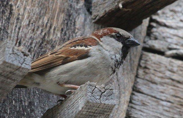 Sparrow Control Productos | Nixalite