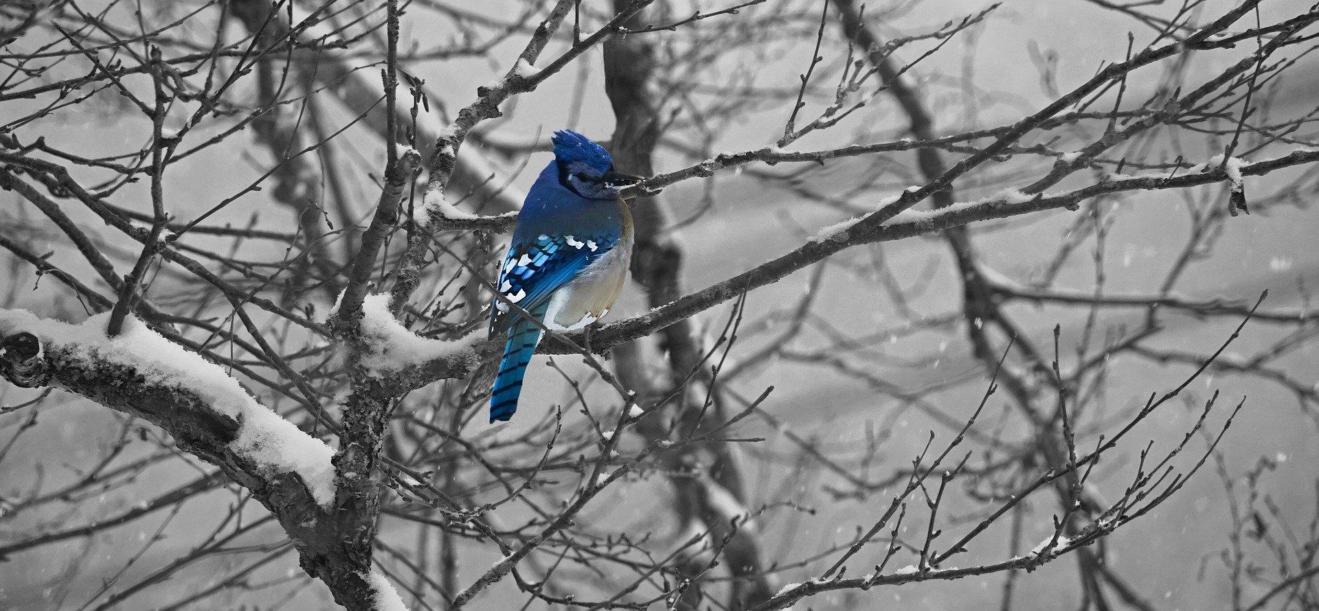 blue jay, nature, birding