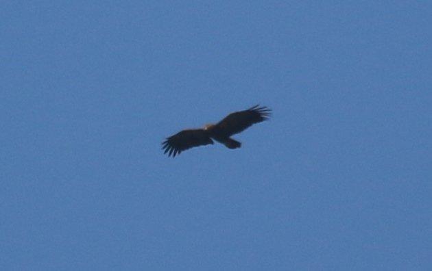 lesser-spotted-eagle