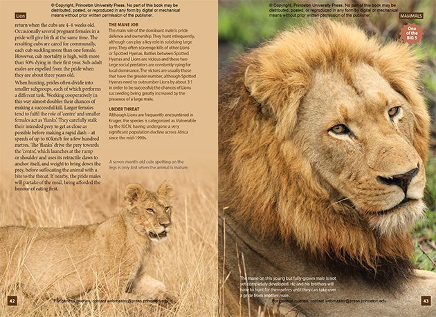 Lion page 42 and 43