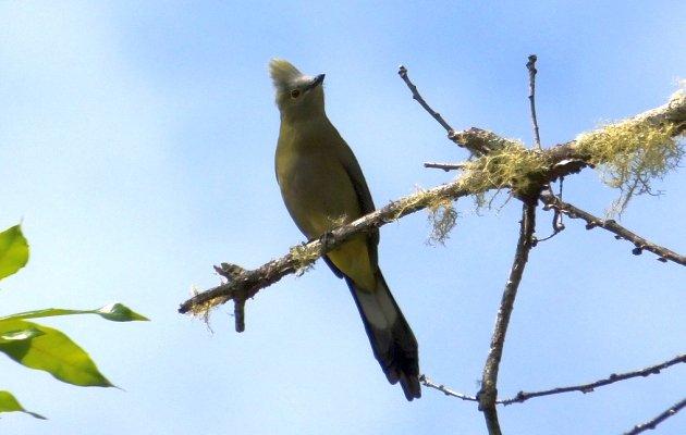 long-tailed-silky-flycatcher