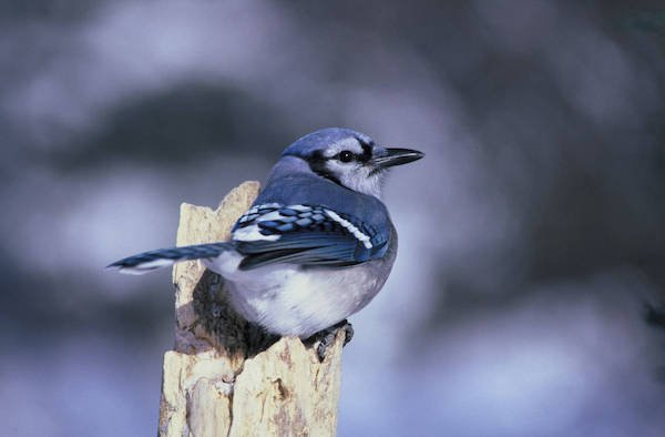 Blue jay perched on a dead branch
