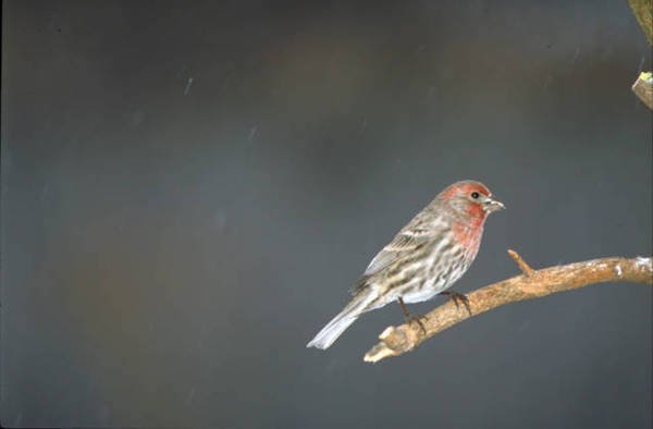 Male House Finch on bare branch in snow