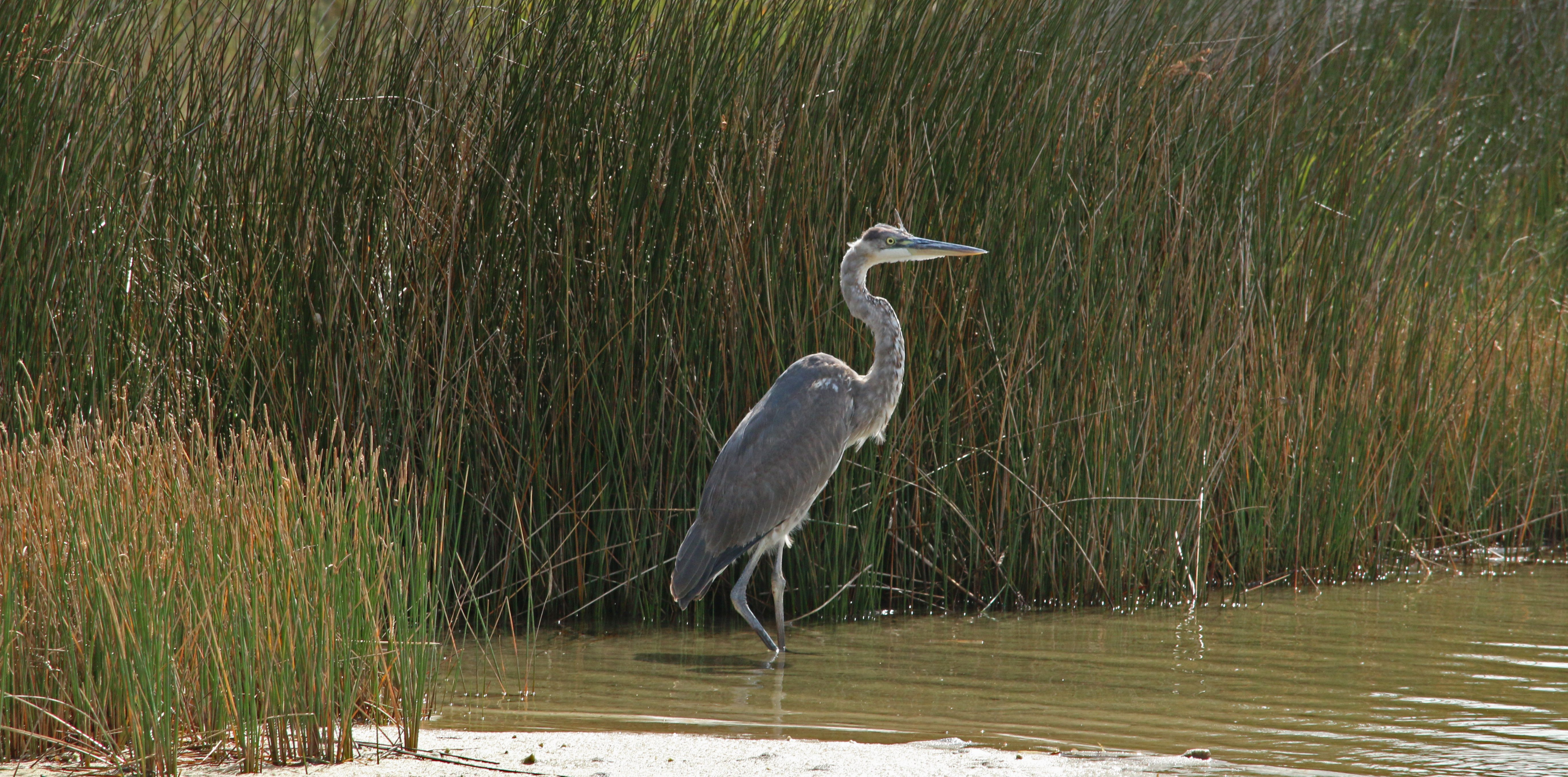 great blue heron, nature, birding