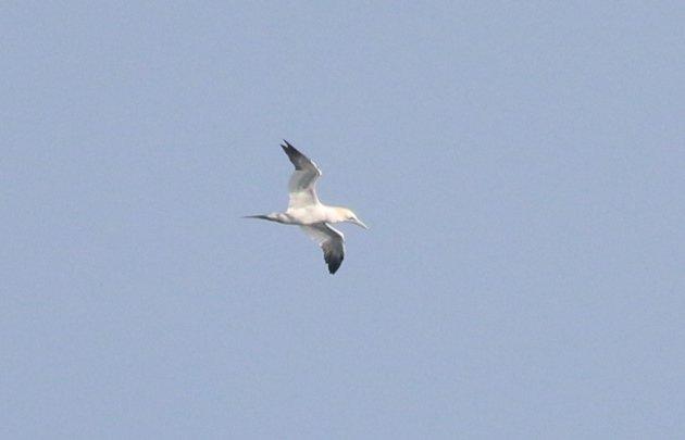 northern-gannet