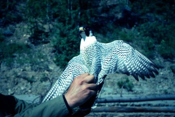 A Peregrine Falcon, wings spread, held by a biologist