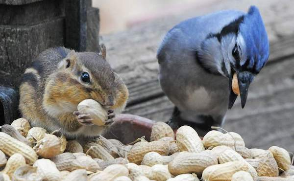 Chipmunk and blue jay eating peanuts