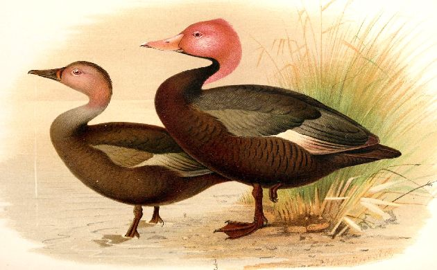 Pink-headed Duck illustrated by Henrik Gorvald
