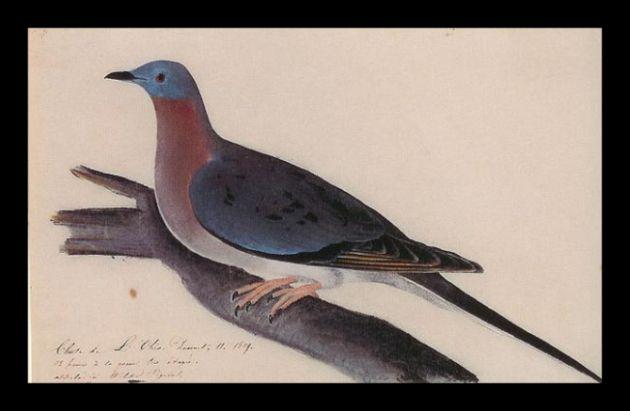 Passenger Pigeon sketch by Audubon