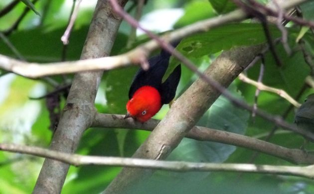 red-capped-manakin-dancing