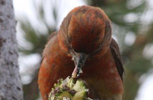 red crossbill eating