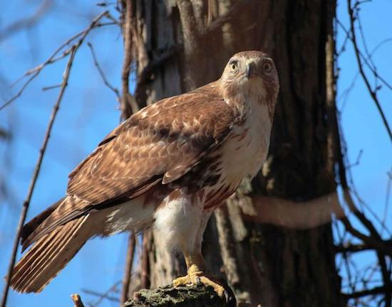 Adult red-tailed hawk on branch